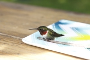 DSLR Injured Hummingbird